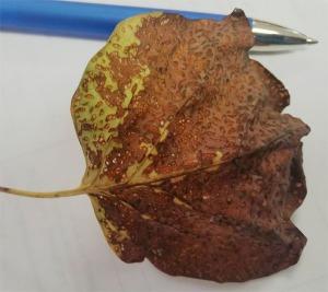 Figure 2. Leaf scorching from yellow poplar weevil feeding (Photo: E. Baker, Estill County)