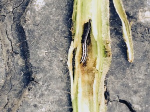 Figure 1. Common stalk borer in a tomato plant (Photo: C. Hicks, McLean Co.)