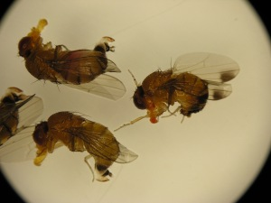 Figure 2. Spotted wing drosophila fruit flies can be identified with either a hand lens or under a microscope. (Photo: Ric Bessin, UK)