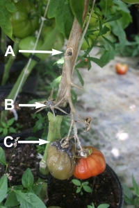 Figure 1. (A) Sclerotia (hardened orbs of fungal mycelium) may be found inside or outside infected tomato stems. These may survive up to 7 years in soil. (B) Timber rot lesions often originate at clips or trellis sites, since Sclerotinia requires a wound to infect plants. (C) Sclerotinia may also infect fruit near the calyx, or plant-side, of fruit. (Photo: Emily Pfeufer, UK)