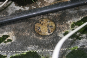 Figure 2. Sclerotia developing in infected tomato fruit that has fallen on fabric in a greenhouse (Photo: Emily Pfeufer, UK)