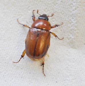 Figure 1. Masked chafer. (Photo: Lee Townsend, UK)