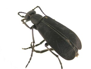 Figure 1. Blister beetle - note narrow neck between head and abdomen. (Photo: Lee Townsend, UK)