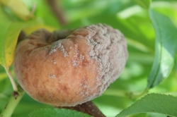 Figure 1:   Peach fruit infected with brown rot. (Photo: Nicole Ward Gauthier, UK)