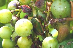 Figure 2. Japanese beetle is a serious pest of grapes at harvest. (Photo: Ric Bessin, UK)