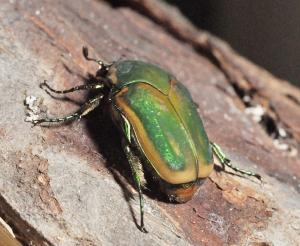 Figure 1. Green June beetle. (Photo: Lee Townsend, UK)