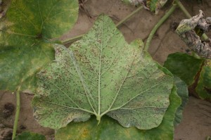 Figure 1: Underside of cucumber leaf with gray-purple sporulation edged by leaf veins. (Photo: Kenny Seebold, UK