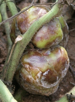 Figure 3.  Late blight lesions on tomato fruit. (Photos: Kenny Seebold, UK)