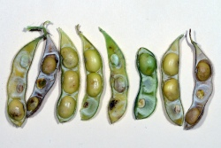 Figure 1. Stink bug damage to soybean results in shrunken and discolored beans. (Photo: Ric Bessin, UK)