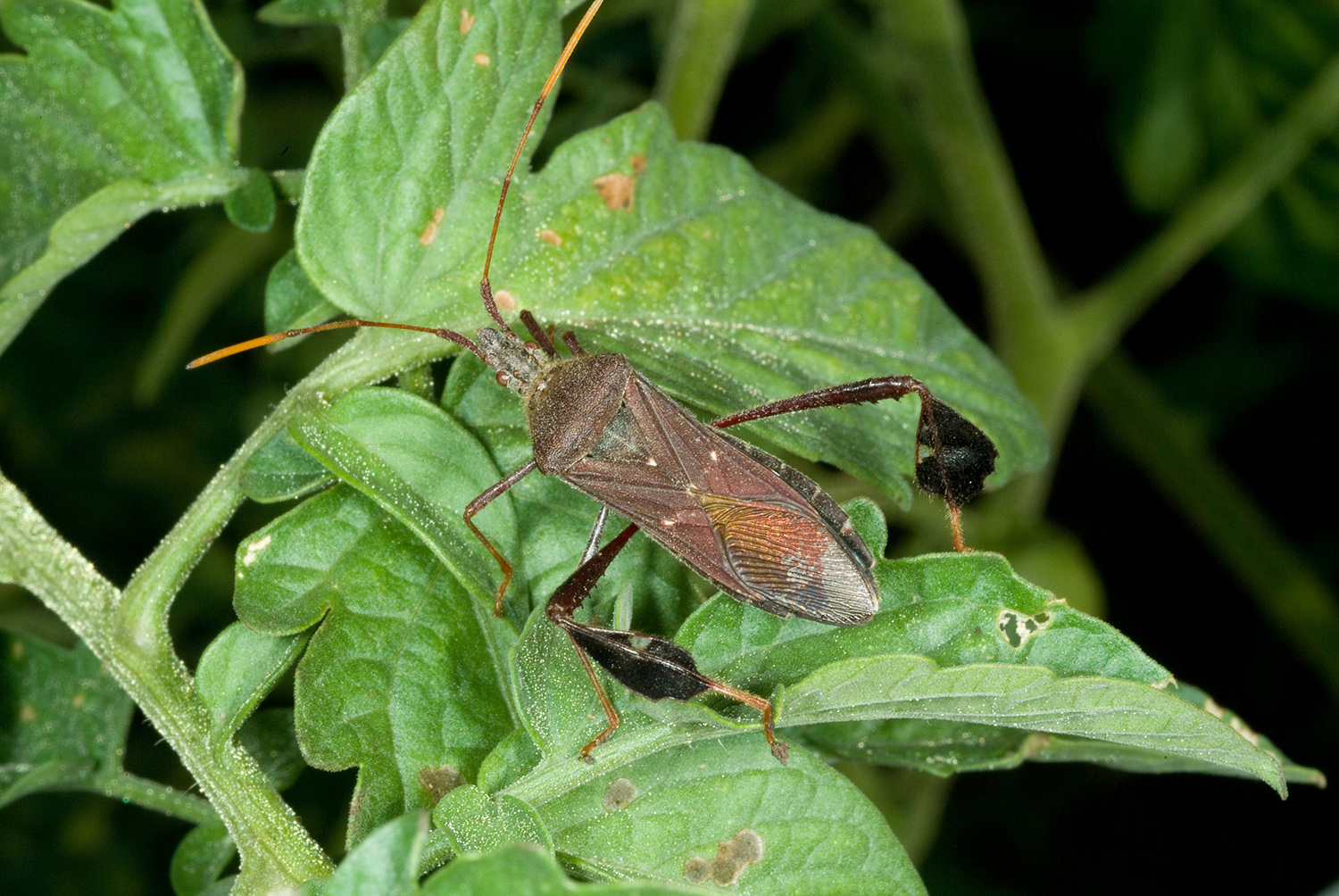 Stink and Leaf-Footed Bugs Active | Kentucky Pest News