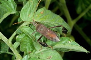 Figure 3. Leaf-footed bugs get their name from the wide tibia on the hind legs and may be common on tomatoes. (Photo: Ric Bessin, UK)