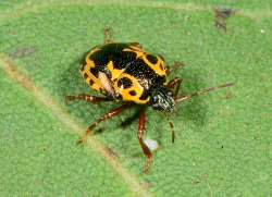 Figure 4. Anchor bugs have distinctive color patterns and are either orange and black or tan and black. (Photo: Ric Bessin, UK)