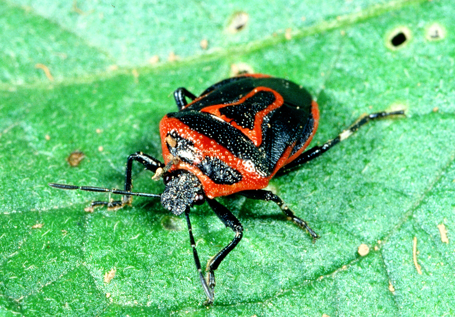 stink and leaf footed bugs active kentucky pest news. Black Bedroom Furniture Sets. Home Design Ideas
