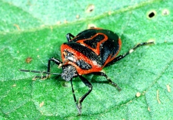 Figure 5. Two-eyed stink bug feeds primarily on Colorado potato beetle and its larvae. (Photo: Ric Bessin, UK)