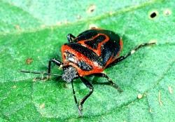 Figure 5. Two-eyed stink bug feeds primarily on Colorado potato beetle and its larvae. (Photo: Ric Bessin, UK)