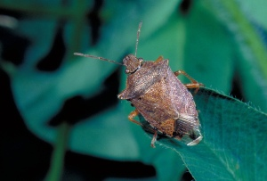 Figure 6. Spined soldier bug is similar in appearance to brown stink bug but has a distinguishing dark marking on the transparent part of the front wings.  (Photo: Ric Bessin, UK)