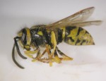 Figure 1. Yellowjacket (Photo: Lee Townsend, UK)