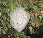 Figure 5. Baldfaced hornet nest. (Photo: Lee Townsend, UK)