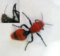 Figure 9.  Velvet ant; note the exposed stinger in the upper left inset. (Photo: Lee Townsend, UK)