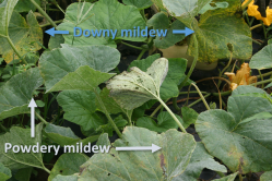 "Figure 1. Butternut squash affected by both downy mildew (DM) and powdery mildew (PM). DM causes yellow, ""window-pane"" lesions on the upper surface of leaves, while PM shows white-gray growth on the top of leaves. (Photo: Emily Pfeufer, UK)"