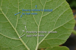 Figure 2. Dark gray-purple downy mildew sporulation occurs only on the underside of leaves and does not spread over leaf veins. White powdery mildew sporulation may occur on the tops or bottoms of leaves and easily spreads over leaf veins.(Photo: Emily Pfeufer, UK)