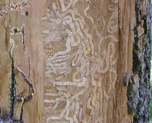 Figure 1. Emerald ash borer gallery under the bark of an ash tree. (Photo: Lee Townsend, UK)