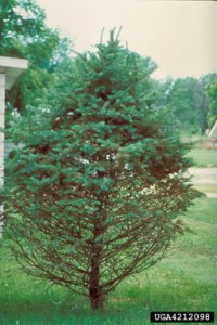 Figure 2. Needle drop and thinning of lower canopy are classic symptoms of Rhizosphaera needle cast in spruce. (Photo: Minnesota Department of Natural Resources Archive, Minnesota Department of Natural Resources, Bugwood.org)