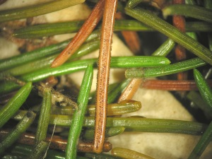 Figure 3. Fungal pycnidia are often visible without a hand lens. (Photo: Paul Bachi, UK)