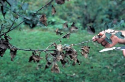 Figure 1. Thread blight kills foliage mid-branch; note how leaves at the branch tip are still alive. (Photo: John Hartman, UK)