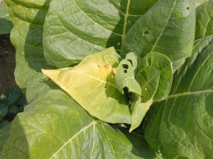 Figure 7. Scalded leaf from stink bug feeding. (Photo: Lee Townsend, UK)