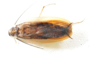 Figure 1. Wood cockroach. (Photo: Mike Potter, UK)