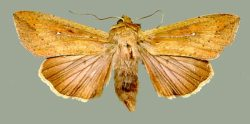Figure 1. Armyworm moth (Photo: Doug Johnson, UK)