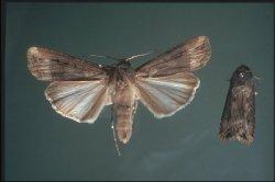 Figure 2. Fall armyworm moth (Photo: Doug Johnson, UK)