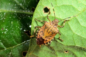 Brown Marmorated Stink Bug on the Move
