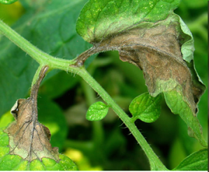 Figure 1. Late blight initiating on tomato leaves (Photo: M. McGrath, Cornell University).