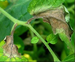 Figure 1. Late blight initiating on tomato leaves (Photo: M. McGrath, Cornell University).