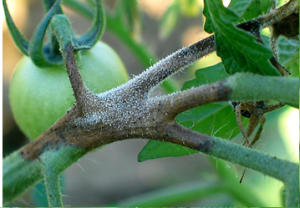 Figure 2. Brown, necrotic late blight lesion on tomato stem, with white sporulation (Photo: M. McGrath, Cornell University).