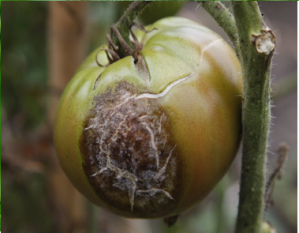 Figure 3. Circular, brown-gray late blight lesion on tomato fruit (Photo: J. Ristaino, North Carolina State University).