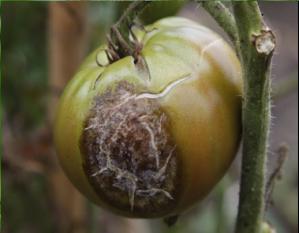 Figure 3. Circular, brown-gray late blight lesion on tomato fruit (Photo: J. Ristaino, North Carolina State University).