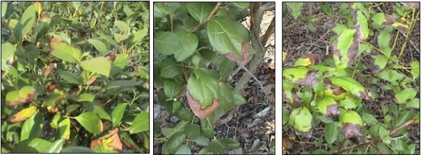 Figure 1: Marginal leaf scorch/burn on blueberry leaves infected with bacterial leaf scorch. (Photo: P. M. Brannen, et. al., Bacterial Leaf Scorch of Blueberry, University of Georgia)