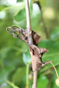 Figure 1: Cankers can provide an overwintering site for plant pathogens. (Photo: Nicole Ward Gauthier, UK)
