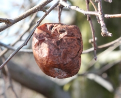 Figure 3: Diseased fruit, whether on the ground or attached to the tree, can serve as a source of inoculum during the current and future growing seasons. (Photo: Nicole Ward Gauthier, UK)