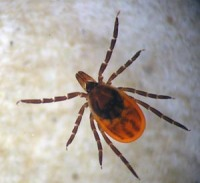 Figure 1. Female blacklegged tick; note the long mouthparts extending from the front of the head. (Photo: Lee Townsend, UK)