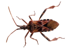 Figure 4. The leaf-footed bug has wide flat areas on its hind legs that make this sap feeder easy to recognize. (Photo: Lee Townsend, UK)