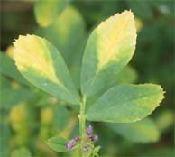 "Figure 2. Better winter survival or earlier arrival of the potato leafhopper can mean more ""hopperburn"" on alfalfa. (Photo: Lee Townsend, UK)"