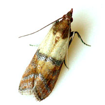 Figure 1. Indian meal moth adult with its distinctive wing markings (Photo http://www.uark.edu/ua/arthmuse/indian.html)
