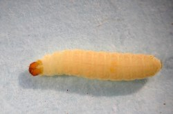 Figure 2. Indian meal moth caterpillar. (Photo: Lee Townsend, UK)
