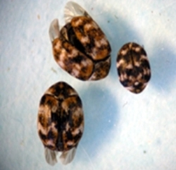 Figure 1. Varied carpet beetle larva. (Photo: Lee Townsend, UK)