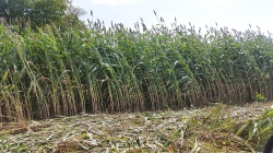 Figure 2. Most sweet sorghum in Kentucky is grown on small-acreage fields of two acres or less. (Photo: Ric Bessin, UK)