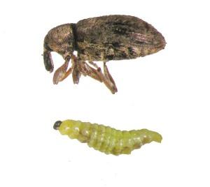 Figure 1. Alfalfa weevil adult (top) and larva (below). (Photo: Lee Townsend,UK)